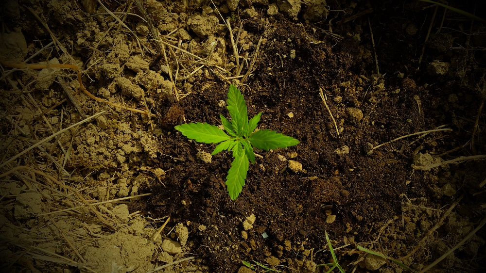 germinazione pianta di cannabis