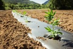 Coltivazione di canapa con semi certificati