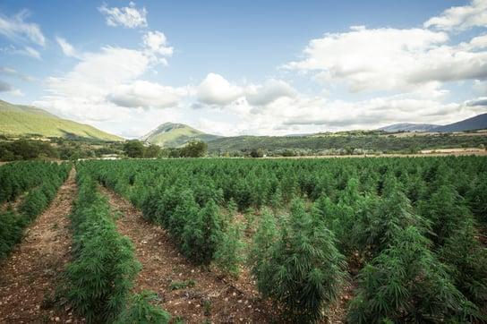 Campo-di-cannabis-abruzzo