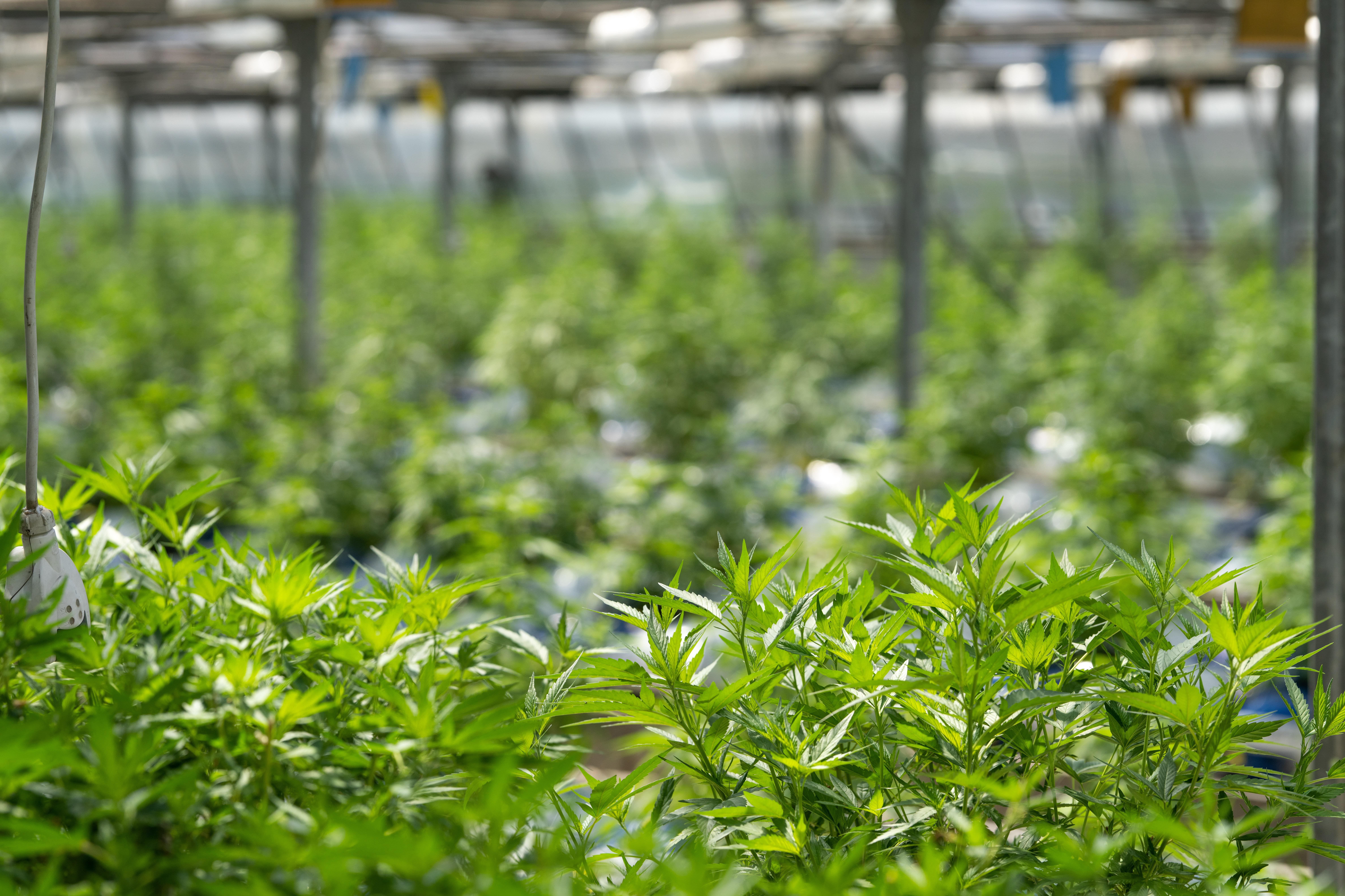 campo-di-cannabis-enecta