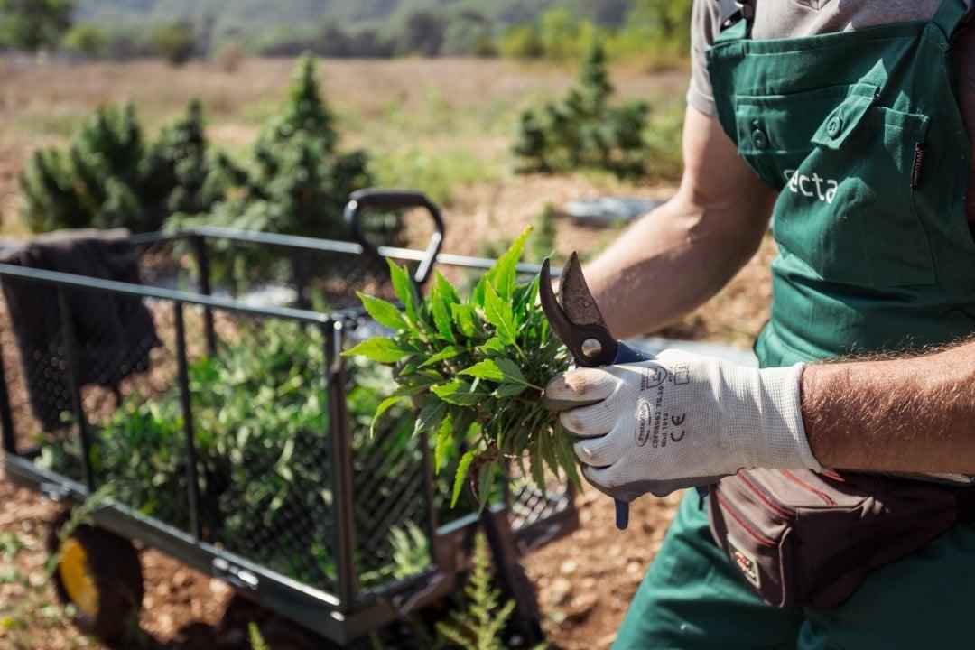 Cannabis raccolta a mano