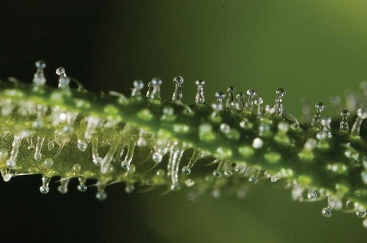terpeni della cannabis